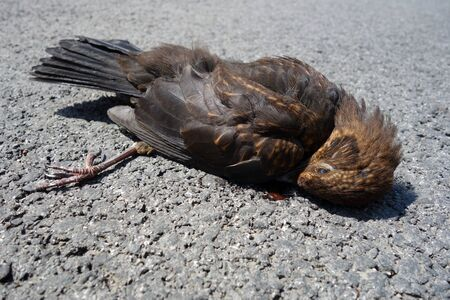Dead bird lying on the road