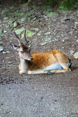 A relaxing forest animal, dama dama Stock Photo