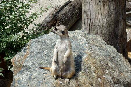 Meerkat which guards the surrounding area during rest 写真素材