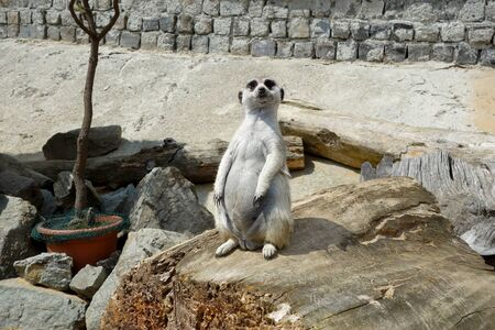 Meerkat which guards the surrounding area during rest Imagens