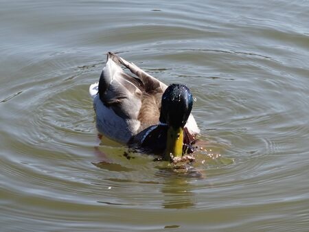 Duck hunting frog