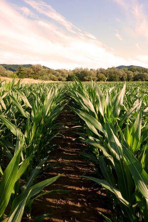 Mais auf dem Feld anbauen Standard-Bild