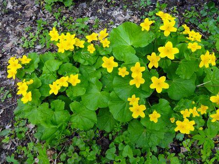 Caltha palustris - marsh marigold 写真素材