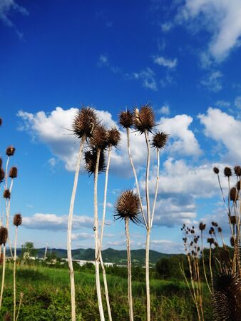 Dried thistle plant