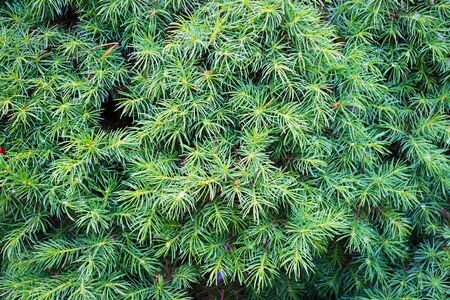 Green needles on a tree 写真素材