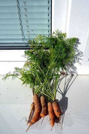 Bundle of fresh pulled carrots from the ground