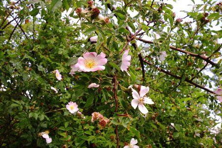 Rosehip rose flowers in nature