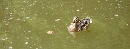 A mallard duck swims in a pond 免版税图像