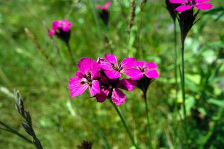 Mountain meadow flowers in summer 免版税图像