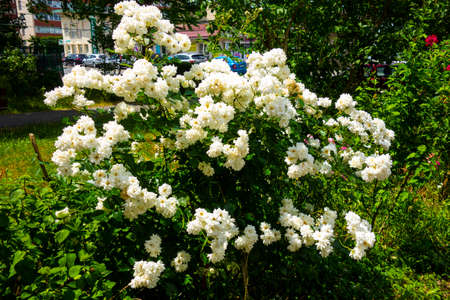 Ornamental flowers in a residential area