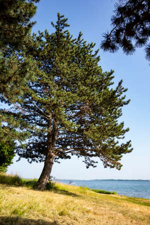 A beautiful pine tree on the shore of the lake on a sunny day, in the background is a recreational motor boat