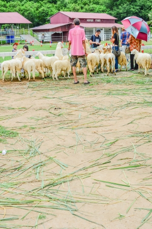 phetchburi: PHETCHBURI, THAILAND- JULY 21: Unidentified groups of men and women are feeding the sheep on July 21, 2013 in Swiss Sheep Farm, Phetchburi, Thailand. Editorial