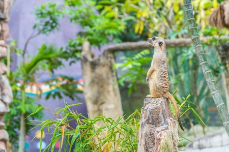 upright: Meerkat standing upright. Stock Photo