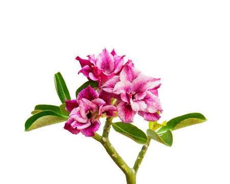 Beautiful flower Azalea, Lily, desert rose. isolate on white background.