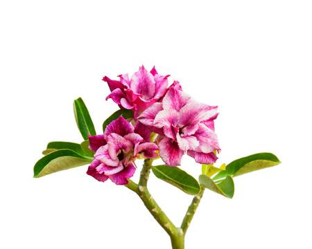 mock azalea: Beautiful flower Azalea, Lily, desert rose. isolate on white background.