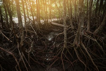 Tree roots. Mangrove forest conservation. Coastal Thailand. Фото со стока