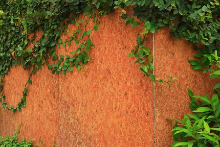 creeper: Green Creeper Plant growing on a wall Stock Photo