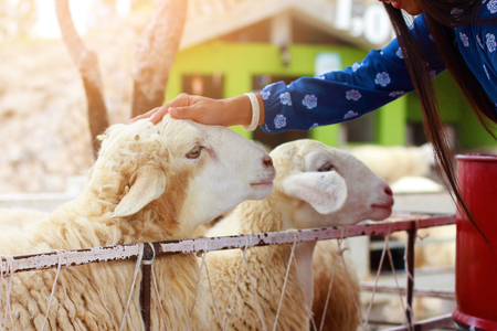pretty girl be kind to animals,girl have mercy to sheep,woman in blue dress suit with happiness to feeding sheep chewing grass in farm