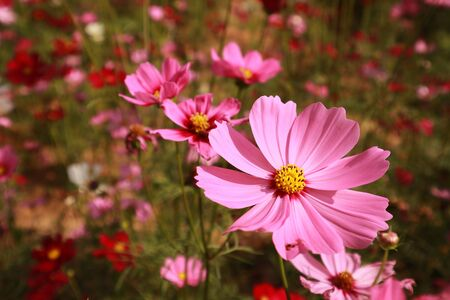 close up pink cosmos flower blooming in the garden backyard,beautiful flower for valentine festive,Cosmos bipinnatus is scientific name Banque d'images - 133372467