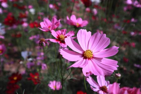close up pink cosmos flower blooming in the garden backyard,beautiful flower for valentine festive,Cosmos bipinnatus is scientific name Banque d'images - 133372468