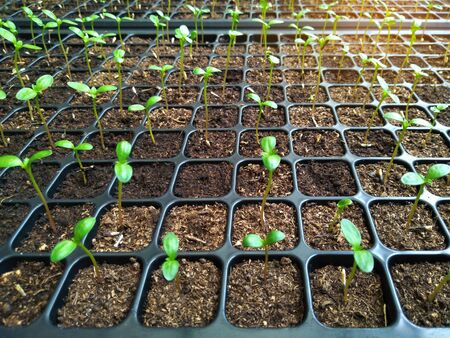 Agriculture seedling growing in cultivation tray. vegetable garden organic farm for health