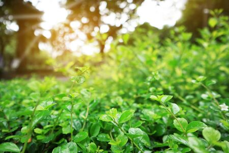 green leaves background,beautiful green bokeh effect of nature,sunlight morning in park