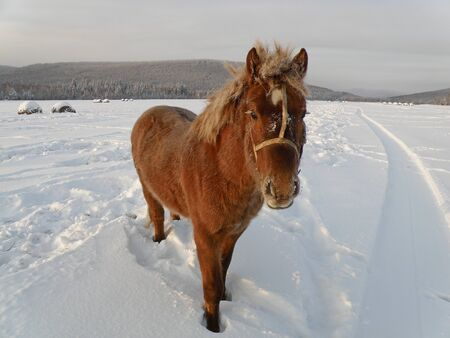 Red horse with wool covered with white hoarfrost in a snowy field