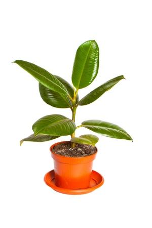 ficus: Ficus in a pot Stock Photo