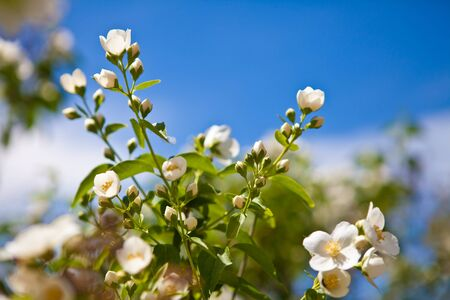 jasmine bush: Blooming jasmine bush
