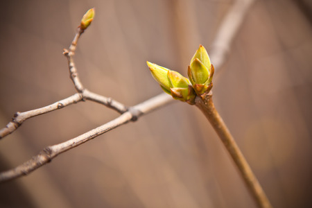 degradation: Swollen buds on a branch of a small depth of field Stock Photo