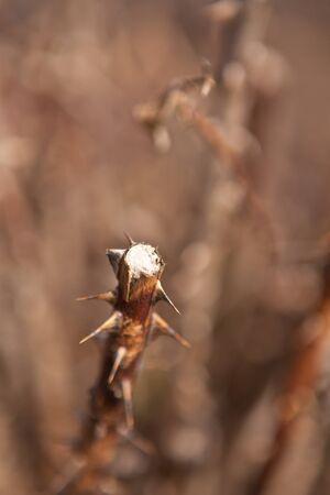 degradation: Uncut dry bush roses closeup, shallow depth of field
