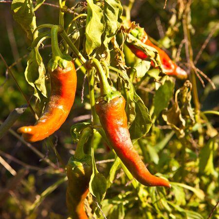 bush pepper: Red hot pepper on the bush Stock Photo