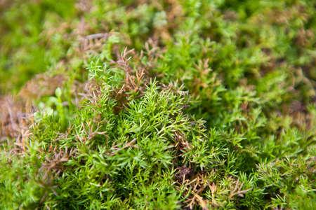 degradation: Recumbent juniper background shallow depth of field Stock Photo