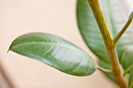 ficus: ficus leaves close-up, shallow depth of field
