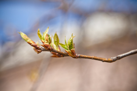 degradation: Cherry tree branch with blossoming buds, shallow depth of field