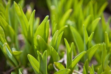 bluegrass: Green shoots of grass background, shallow depth of field