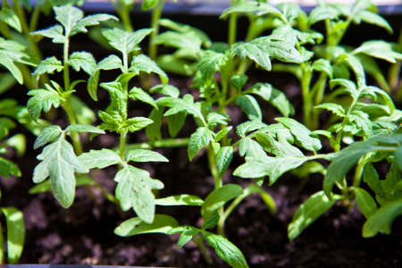 degradation: Young tomato seedling background shallow depth of field Stock Photo