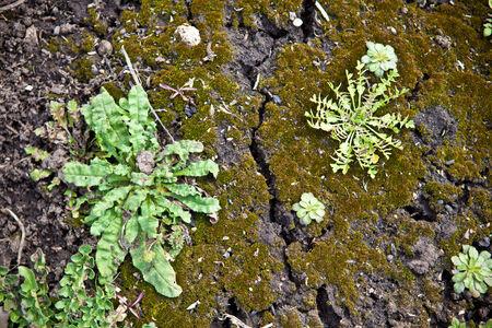 juniper: Recumbent juniper background