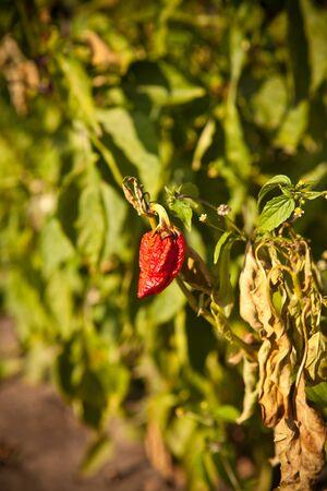 bush pepper: pepper on the bush