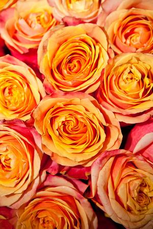 rosas naranjas: Rosas de color naranja de fondo Foto de archivo