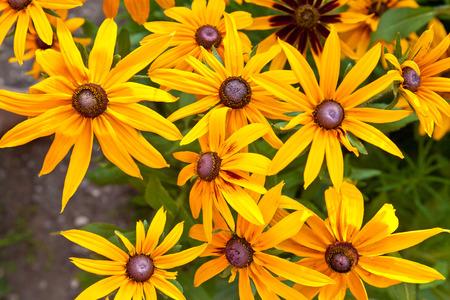 hirta: Rudbeckia hirta in the garden