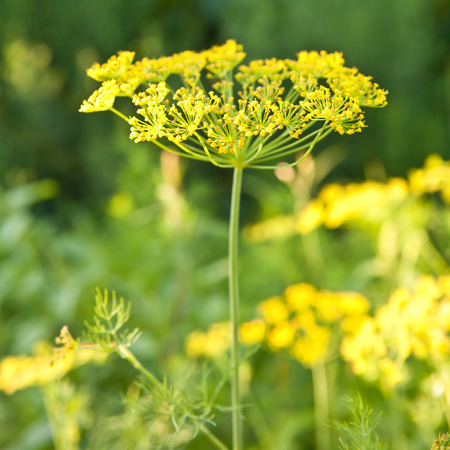 seed bed: Flowering dill in the garden