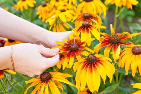 hirta: woman plucks petals Rudbeckia hirta