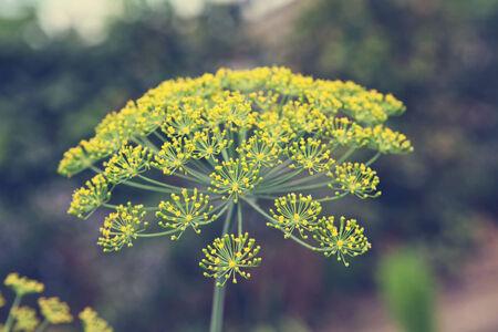 dill: flowering dill