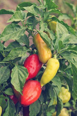 bush pepper: ripe pepper on the bush Stock Photo