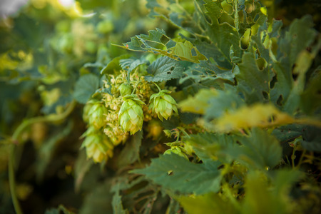 scratchy: hop cones on a stalk shallow depth of field Stock Photo