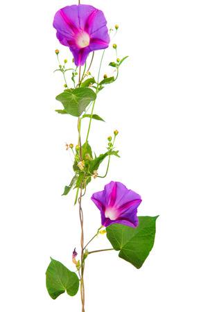 흰색 배경에 고립에 나팔꽃 꽃 스톡 콘텐츠