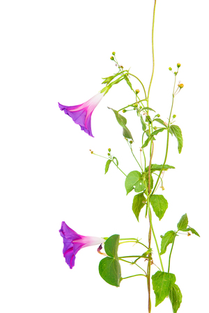 garden eel: morning glory flowers on isolated on white background