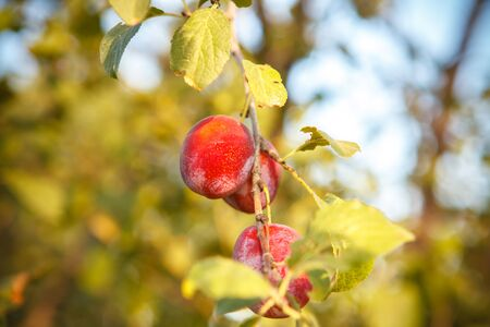 purple leaf plum: Ripe plums on the tree branch