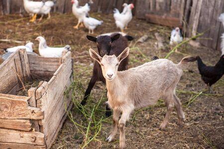 goats in the farmyard in the paddock